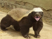 Honey Badgers - Snake Killers - National Geographic 2013 - Honey Badgers Of The Kalahari
