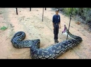 Hybrid Giant Pythons found in Florida - National Geographic 2014